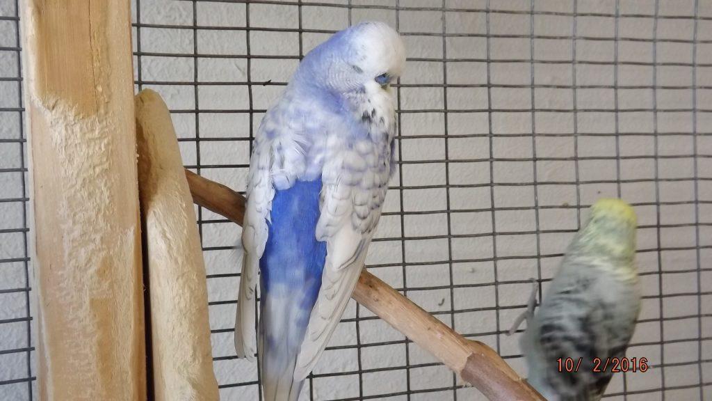 Violet Spangle Cock