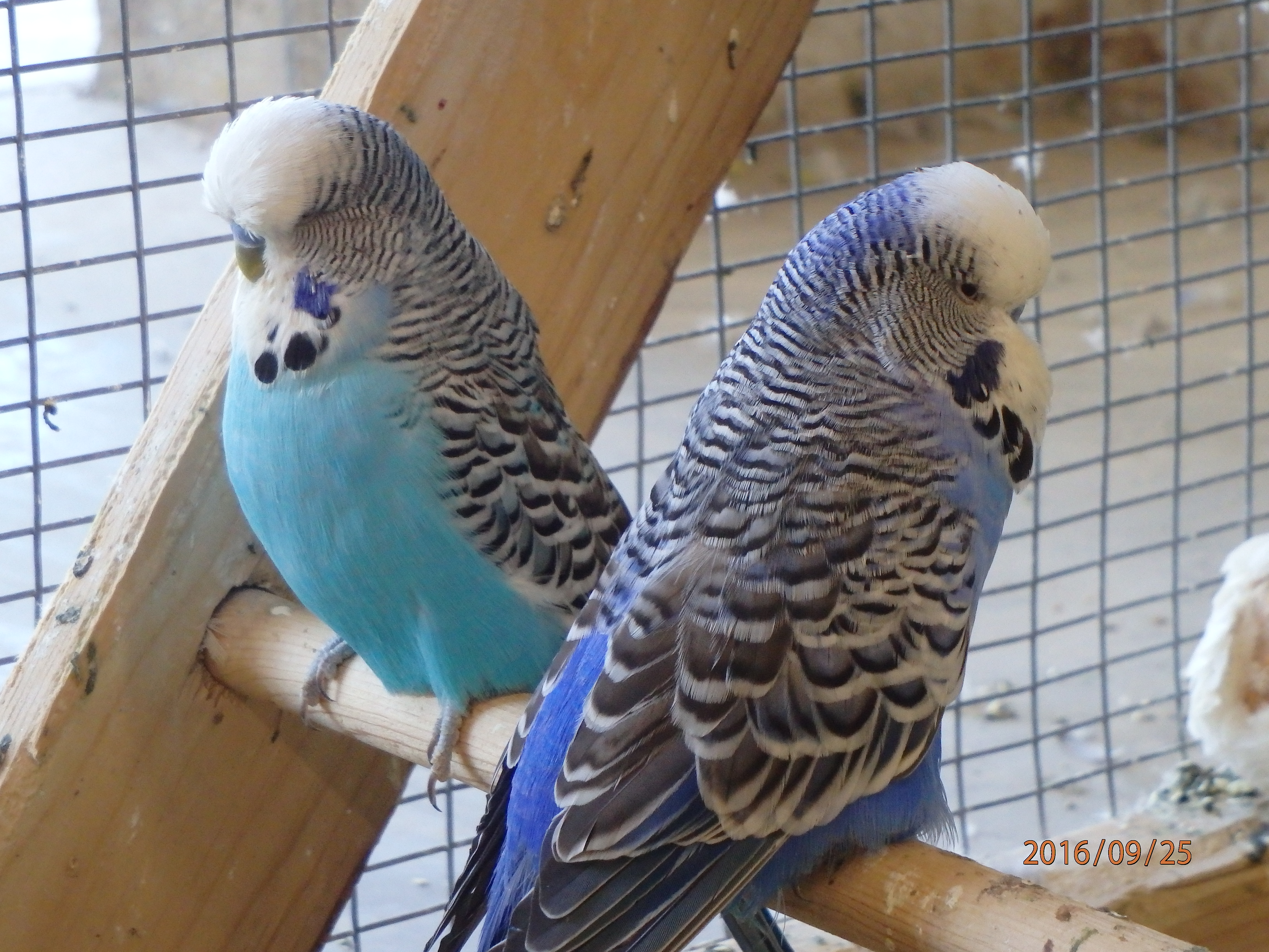 Breeding Season – Pairing Your Birds – BirdsBudgies