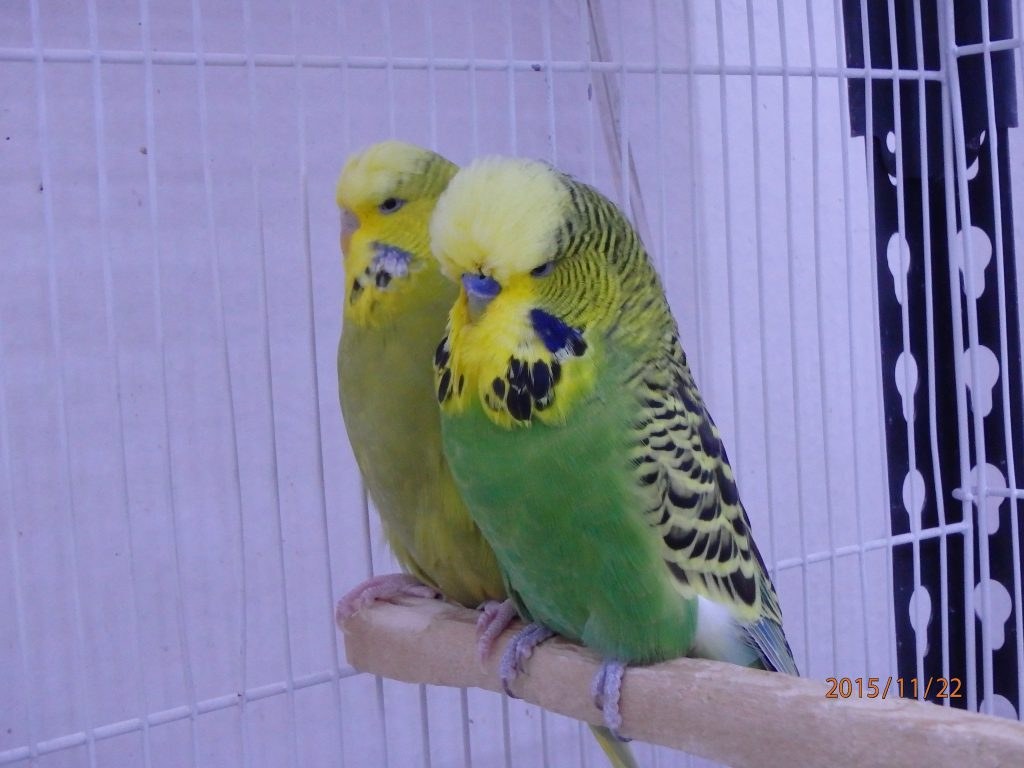 Normal Green Cock and Dom Pied Hen