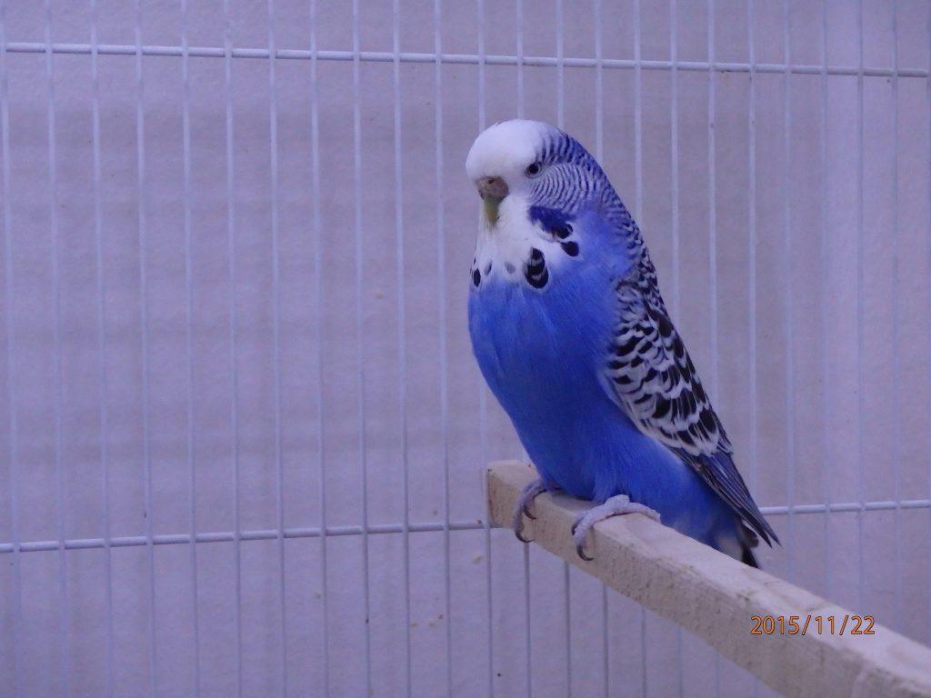Violet Normal Hen