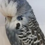 Anthracite Hen Best Opposite Intermediate Chandler 2018