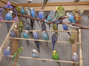 Exhibition Budgies in Aviary