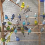 Adult Budgies waiting for Pairing