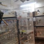 Budgie Breeding Room