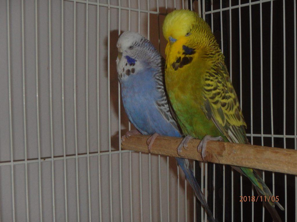 Cinnamon Green Yf cock and Violet Cinnamon hen