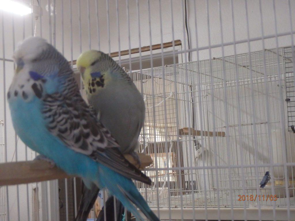 Sky cock and grey yf hen